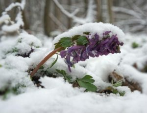 flower_covered_by_snow_ggaallaa_fotolia_large