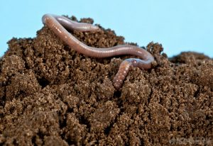 earthworm-and-soil